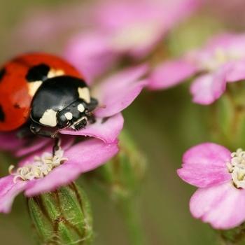 "<p>7-Spot ladybird -Coccinella 7-punctata</p>  <p>Credit:<a href=""https://www.flickr.com/photos/rachel_s/"">nutmeg66</a></p>"