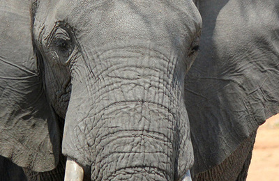 Elephant %28african%29.content