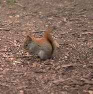 Picture of a red squirrel foraging