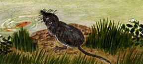 Illustration of a Water Shrew