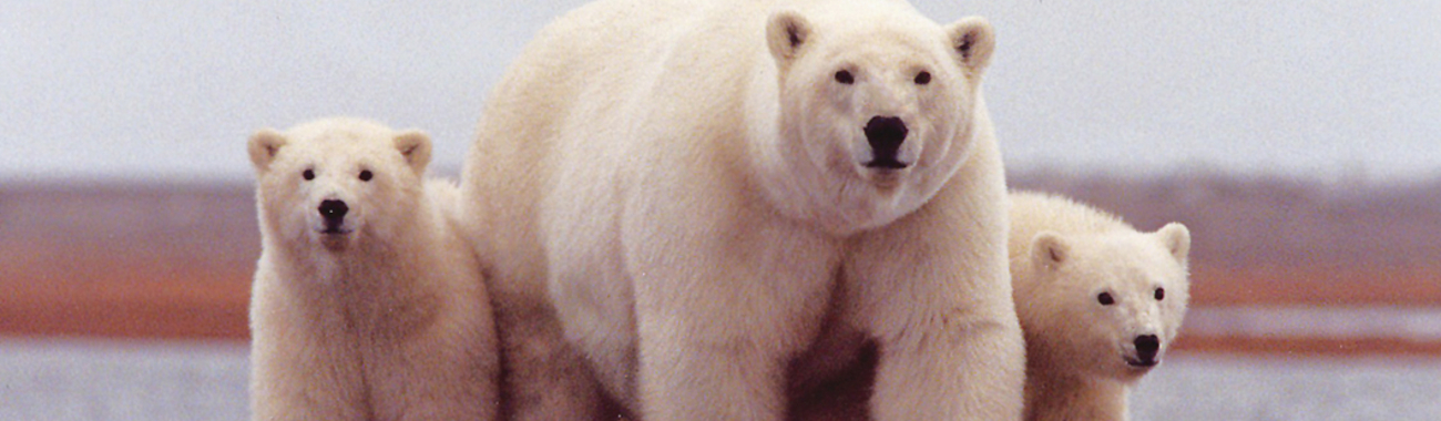 Polarbears.full