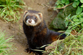Polecat © Peter Trimming CC BY 2.0