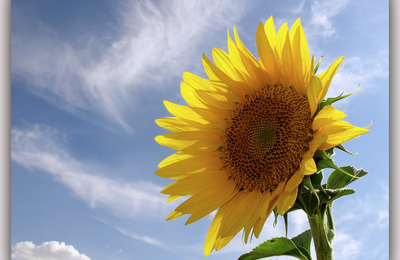 Sunflower copy.content