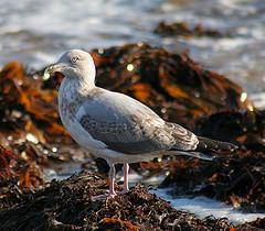 Juvenile Herring Gull © John Haslam CC BY 2.0