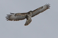 Buzzard - Flickr © Des Irwin CC BY 2.0