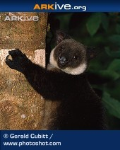 ARKive species - Black tree kangaroo (Dendrolagus ursinus)