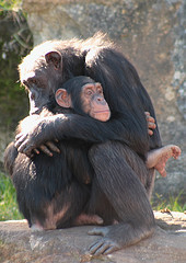 Chimpanzees hugging - Flickr © Buffa CC BY 2.0