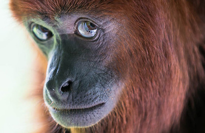 Monkey %28red howler%29.content