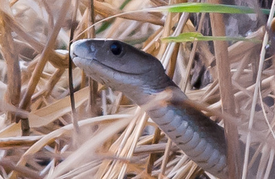 Snake %28black mamba%29.content
