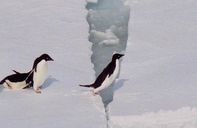 Adelie penguins.content
