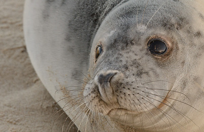 Seal %28grey%29.content