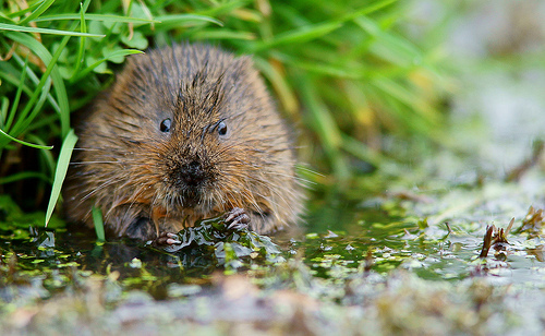 Picture of a water vole