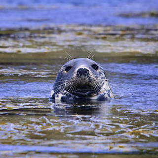 Picture of a Grey Seal