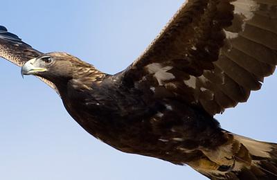 Golden eagle.content