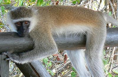 Monkey %28vervet%29.content