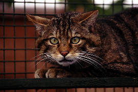 Scottish wildcat - provided by Caring for the Scottish Wildcat web site.