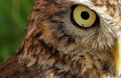 Owl %28little%29.content