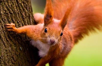 Redsquirrelbanner.content