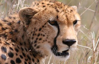 Cheetah.content