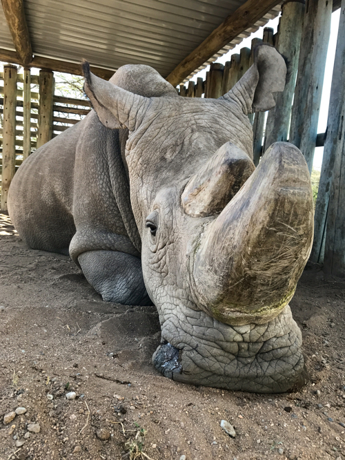 Last male northern white rhino dies | News | Young People's